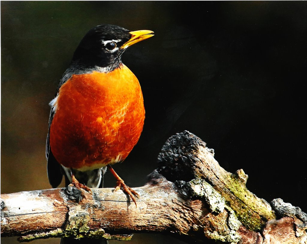 2017 Robin contest Adult First 1024x814