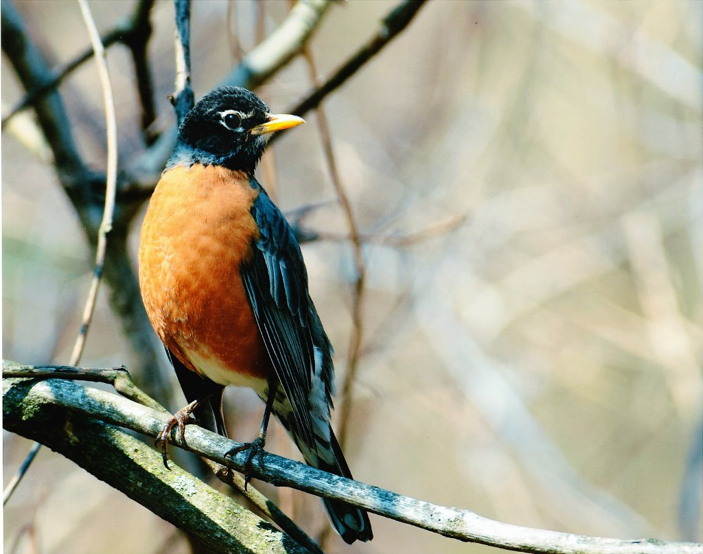 2017 Robin contest Adult Second 1024x807